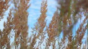 Κορυφή της ξηράς κίτρινης χλόης που ταλαντεύεται στον αέρα στο κλίμα ουρανού απόθεμα βίντεο