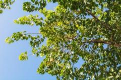 Κορυφή του δέντρου Bodhi στοκ εικόνα με δικαίωμα ελεύθερης χρήσης