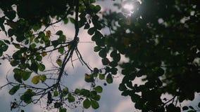 Κορυφή των δέντρων θερινών σημύδων με να λάμψει ήλιων απόθεμα βίντεο