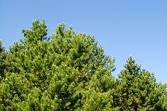 Κορυφή των αειθαλών δέντρων Στοκ εικόνες με δικαίωμα ελεύθερης χρήσης