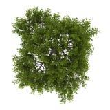 Κορυφαία όψη του δέντρου ιτιών ρωγμών που απομονώνεται στο λευκό διανυσματική απεικόνιση