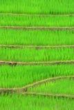 κορυφογραμμή ρυζιού πεδ Στοκ εικόνα με δικαίωμα ελεύθερης χρήσης