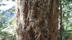 Κορυφογραμμή τυφώνα, ολυμπιακό εθνικό πάρκο, ΟΥΑΣΙΓΚΤΟΝ ΗΠΑ - τον Οκτώβριο του 2014: δέντρο coverd με το βρύο Στοκ Φωτογραφία
