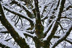 Κορώνα δέντρων σφενδάμνου στο χιόνι Στοκ Εικόνες
