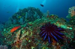 Κορώνα--αγκάθια seastar Στοκ Εικόνες