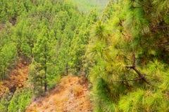 Κορώνα δασική στο εθνικό πάρκο Teide Tenerife Στοκ φωτογραφία με δικαίωμα ελεύθερης χρήσης