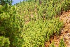 Κορώνα δασική στο εθνικό πάρκο Teide Tenerife Στοκ Εικόνες