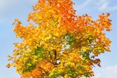 Κορώνα του δέντρου σφενδάμνου σε όλα τα χρώματα φθινοπώρου Στοκ Εικόνα