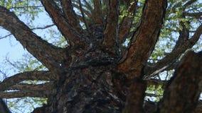 Κορώνα του δέντρου αγριόπευκων, άποψη από κάτω από φιλμ μικρού μήκους