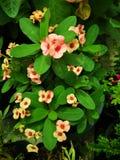 Κορώνα του λουλουδιού ‹tropical†‹αγκαθιών plant†στοκ εικόνες