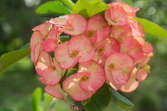 Κορώνα του λουλουδιού αγκαθιών Στοκ εικόνες με δικαίωμα ελεύθερης χρήσης