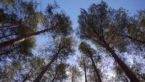 Κορώνα των δέντρων πεύκων φιλμ μικρού μήκους