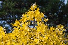Κορώνα των δέντρων φθινοπώρου Στοκ φωτογραφία με δικαίωμα ελεύθερης χρήσης