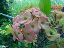 Κορώνα των αγκαθιών, ροζ milli ευφορβίας στοκ φωτογραφία με δικαίωμα ελεύθερης χρήσης