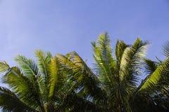 Κορώνα φοινίκων με τα πράσινα φύλλα στο υπόβαθρο μπλε ουρανού Κορώνες φοινικών στο μπλε ουρανό Στοκ φωτογραφία με δικαίωμα ελεύθερης χρήσης