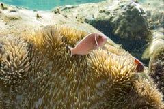 Κορώνα-ψάρια με τη θάλασσα Anemone Στοκ εικόνα με δικαίωμα ελεύθερης χρήσης