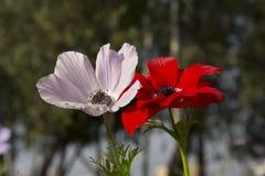 Κορώνα Anemone Στοκ Εικόνες
