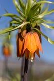 Κορώνα Imperials, κορώνα Kaiser, imperialis Fritillaria Στοκ φωτογραφία με δικαίωμα ελεύθερης χρήσης