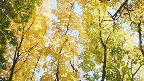 Κορώνες πανοράματος των δέντρων στο δάσος φθινοπώρου απόθεμα βίντεο
