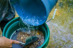Κοσκινίστε και ταξινομήστε το ορυκτό πλούσιο χώμα με το χρυσό τηγάνι ταξινομητών βράσης στοκ εικόνες με δικαίωμα ελεύθερης χρήσης