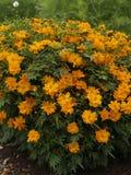 Κοσμικό πορτοκάλι 01 sulphureus κόσμου Στοκ Φωτογραφίες