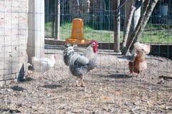 Κοτέτσι κοτόπουλου με τις κότες εσωτερικές και τον κόκκορα στοκ εικόνα