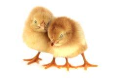 κοτόπουλα κίτρινα Στοκ Φωτογραφίες