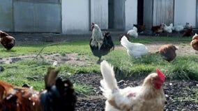 Κοτόπουλα και κόκκορες που περπατούν στο ναυπηγείο πουλιών στο φάρμα πουλερικών Αγροτική καλλιέργεια απόθεμα βίντεο