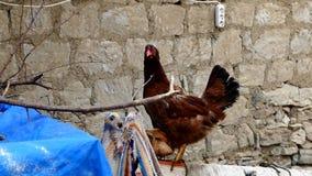 Κοτόπουλα και κόκκορες στο του χωριού περιβάλλον, κοτόπουλα ξεφυλλίσματος και κόκκορες απόθεμα βίντεο
