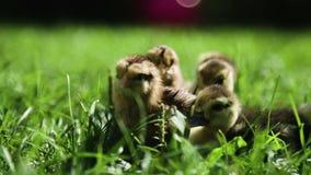 Κοτόπουλα και πάπιες σε μια χλόη φιλμ μικρού μήκους