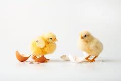 κοτόπουλα λίγα δύο Στοκ φωτογραφία με δικαίωμα ελεύθερης χρήσης