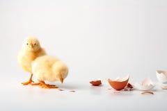 κοτόπουλα λίγα Στοκ Εικόνες
