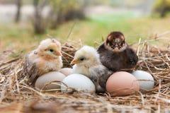 Κοτόπουλα με τα αυγά στο κιβώτιο αυγών Στοκ Εικόνα