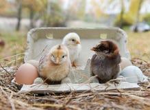 Κοτόπουλα με τα αυγά στο κιβώτιο αυγών Στοκ εικόνες με δικαίωμα ελεύθερης χρήσης
