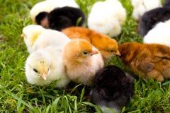 κοτόπουλα μικρά Στοκ Φωτογραφία