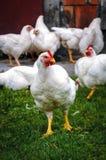 Κοτόπουλα στην Πολωνία στοκ φωτογραφίες με δικαίωμα ελεύθερης χρήσης