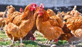 Κοτόπουλα στο παραδοσιακό ελεύθερο φάρμα πουλερικών σειράς στοκ φωτογραφία