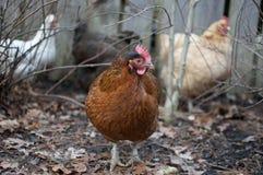 κοτόπουλα τρία στοκ φωτογραφία