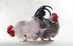 κοτόπουλα δύο Στοκ Φωτογραφία