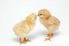 κοτόπουλα στοκ εικόνες