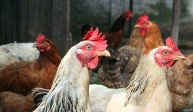 κοτόπουλα στοκ εικόνες με δικαίωμα ελεύθερης χρήσης
