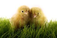 κοτόπουλα Στοκ Φωτογραφίες