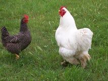κοτόπουλα Στοκ φωτογραφίες με δικαίωμα ελεύθερης χρήσης