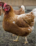κοτόπουλα freerange στοκ εικόνα