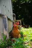 κοτόπουλο δύο Στοκ εικόνες με δικαίωμα ελεύθερης χρήσης
