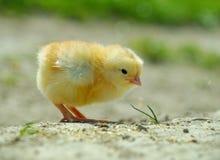κοτόπουλο κίτρινο Στοκ εικόνες με δικαίωμα ελεύθερης χρήσης
