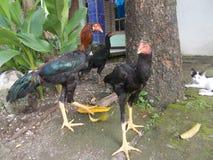 Κοτόπουλο και γατάκι Στοκ Φωτογραφία