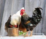 Κοτόπουλο και κόκκορας στο αγρόκτημα, που πυροβολεί υπαίθρια Αγροτικό θέμα ζωηρόχρωμος κόκκορας Στοκ Εικόνες
