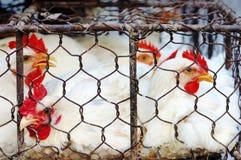 κοτόπουλο κλουβιών Στοκ Εικόνες