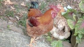 Κοτόπουλο κοτών στοκ εικόνες